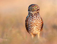 A burrowing owl in the Florida suburb of Cape Coral.