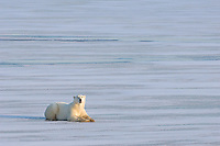 Solitary polar bear relaxes yet remains alert on the newly frozen ice.