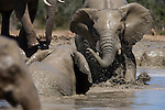African elephant, Loxodonta africana, in water, Addo Elephant National Park, South Africa