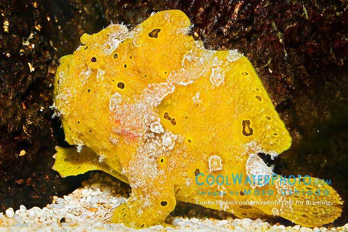 Commerson's frogfish or giant frogfish, Antennarius commerson, camouflaging like a bright yellow sponge, Indo-Pacific Ocean (c)
