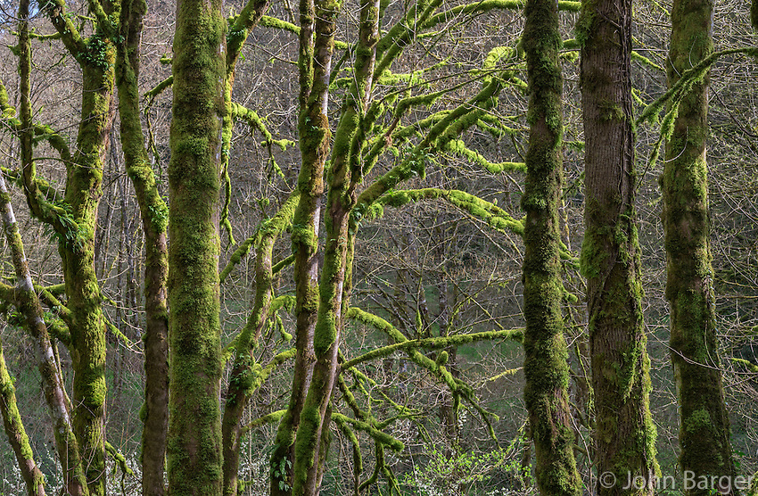 ORPTT_D134 - USA, Oregon, Tryon Creek State Natural Area, Lush moss and ferns growing on bigleaf maple and red alder trees in spring.