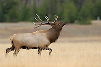 Elk, Wapiti, Cervus elaphus, bull prancing showing off,  Yellowstone NP,Wyoming, USA