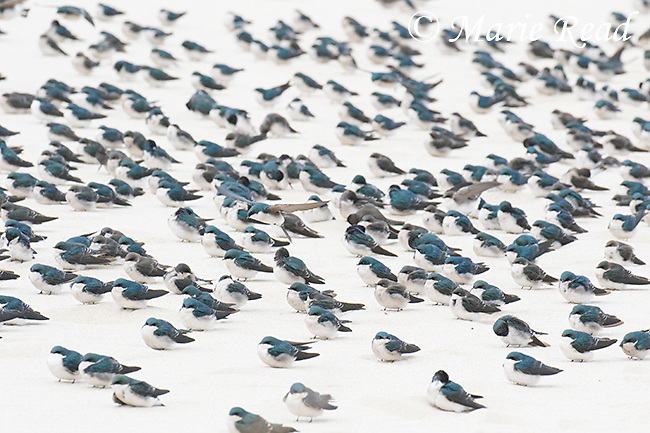 Tree Swallows (Tachycineta bicolor) flock resting on beach during fall migration, Cape May, New Jersey, USA