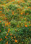 Mojave Desert, Antelope Valley, California:<br /> Backlit spring wildflowers, California poppies (Eschscholzia californica), California Goldfields (Lasthenia californica) blooming near the Antelope Valley Poppy Reserve