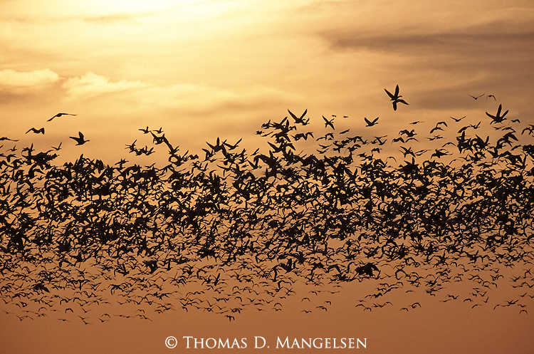 Flock of snow geese flying