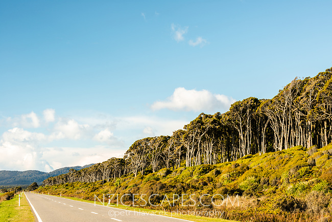 Coastal road with rimu trees near Haast, West Coast, South Westland, UNESCO World Heritage Area, New Zealand, NZ
