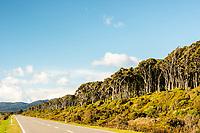 Coastal road with rimu trees near Haast, West Coast, South Westland, UNESCO World Heritage Area, New Zealand, NZ