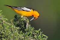 Bullock's Oriole (Icterus bullockii), male eating moth prey, Laredo, Webb County, South Texas, USA