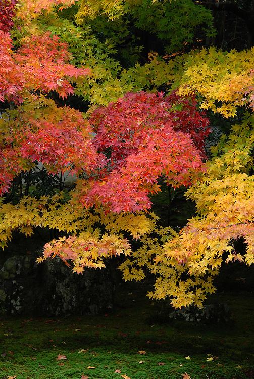 Autumn leaves, momiji, in a Japanese garden in Nanzenji Temple, Kyoto.<br /> <br /> Feuilles d'automne, momiji, dans un jardin japonais du temple Nanzenji, Kyoto.