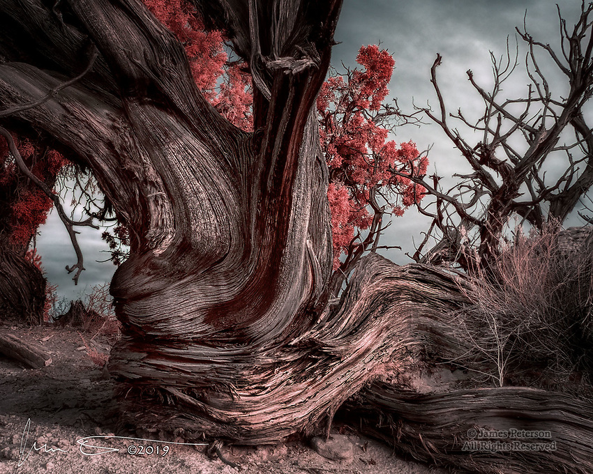 Gnarly (Infrared).  An ancient, weatherworn juniper shows off its twists and curves near Broken Arch in Utah's Arches National Park.<br /> <br /> Image ©20129 James D. Peterson