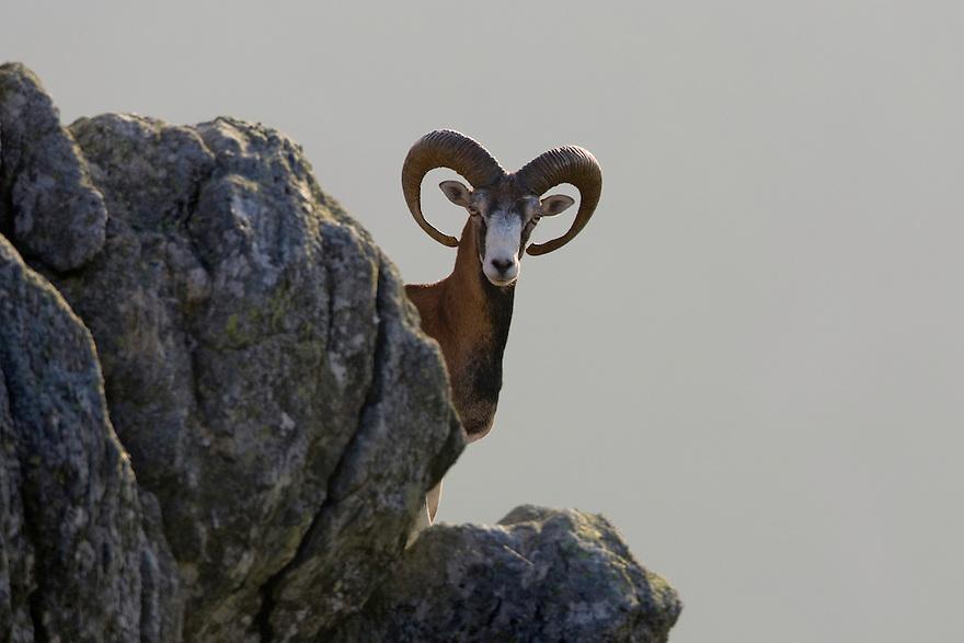Mouflon/Ovis musimon/male on rock/Parc naturel regional du Haut-Languedoc/Caroux/France