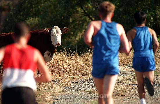 Cross-country runners running past cow at Acalanes vs. Northgate.<br />