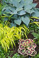 Hosta Halycon Hakonechloa Allgold, Pelargonium Contrast, Myosotis