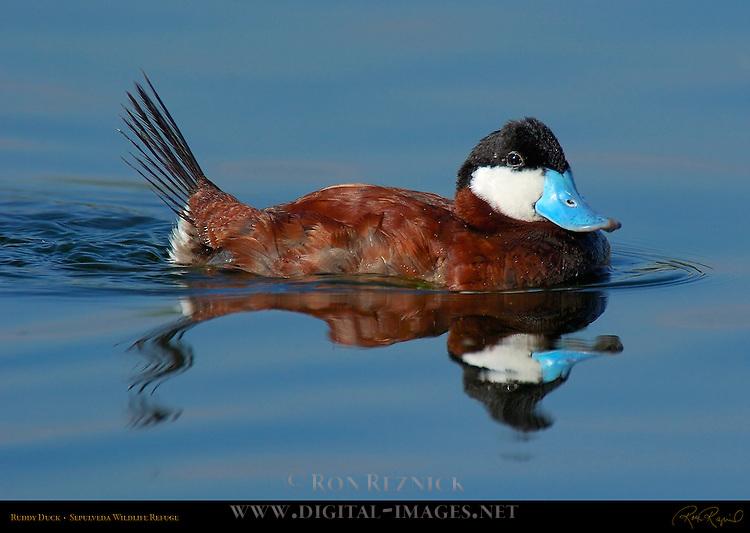 Ruddy Duck, Male, Drake, Sepulveda Wildlife Refuge, Southern California