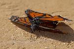 Mating Monarchs, Danaus plexippus, Southern California