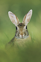 Eastern Cottontail (Sylvilagus floridanus), adult, Starr County, Rio Grande Valley, Texas, USA, May 2002