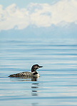 Common Loon swimming in Tutka Bay, Alaska, with Mount Illiamna in the background