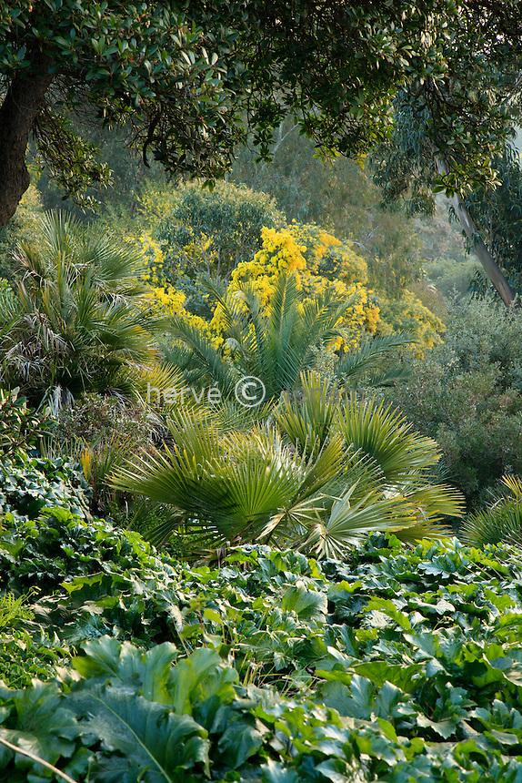 Le domaine du Rayol en f&eacute;vrier : dans le jardin australien, tapis d'acanthes, palmier et mimosa.<br /> <br /> (mention obligatoire du nom du jardin &amp; pas d'usage publicitaire sans autorisation pr&eacute;alable)