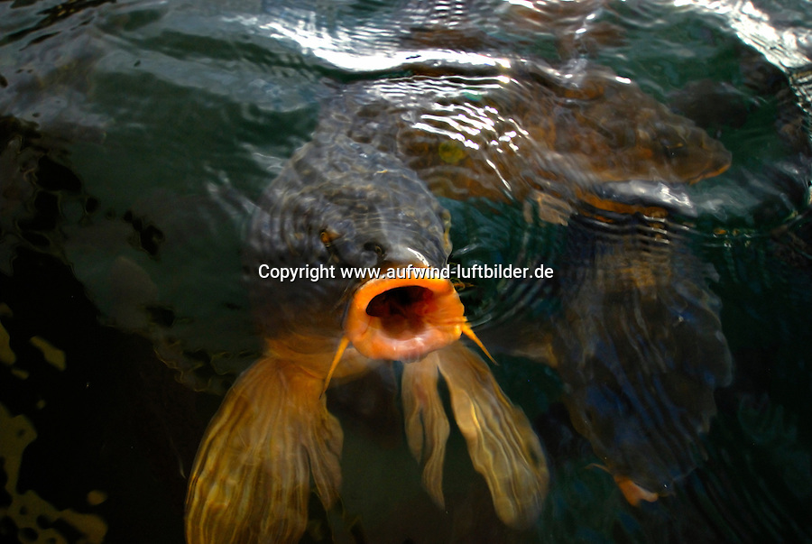 4415 / Karpfen: AMERIKA, VEREINIGTE STAATEN VON AMERIKA, CALIFORNIEN,  (AMERICA, UNITED STATES OF AMERICA), 23.05.2006:  animal, animals, biotope, biotopes, bodies of water, bony fish, bony fishes, carp, carps,  Fisch, Fische,  fish, fishes, frequent, fresh water fish, fresh water fishes, Gewaesser,  Heiligtuemer, Heiligtum, horizontal format, Karpfen, Karpfenfische, Knochenfisch, Knochenfische, Lebensraeume, Lebensraum, many, mehrere, numerous, pond, ponds, Querformat, sancta, sanctuaries, sanctuary, sanctum, sanctums,  Sinnbild, sinnbildlich, Stillgewaesser, Suedosteuropa, Suesswasserfisch, Suesswasserfische, symbol, Symbole, symbolic, Symbolik, symbolisch, symbolism, symbolisms, symbols, Teich, Teiche, Tier, Tiere, various,  Lake Mead,