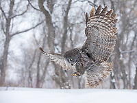 Massive, broadly spread wings and tail allow the Great Gray Owl to hover above the snow, listening to determine the exact location of its prey. Boreal forest populations of Great Gray Owls are cold and snow adapted and catch rodents moving under the snow using only their hearing.  They can deploy force that allows them to break through snow and ice capable of carrying the weigh of an 180 pound person.