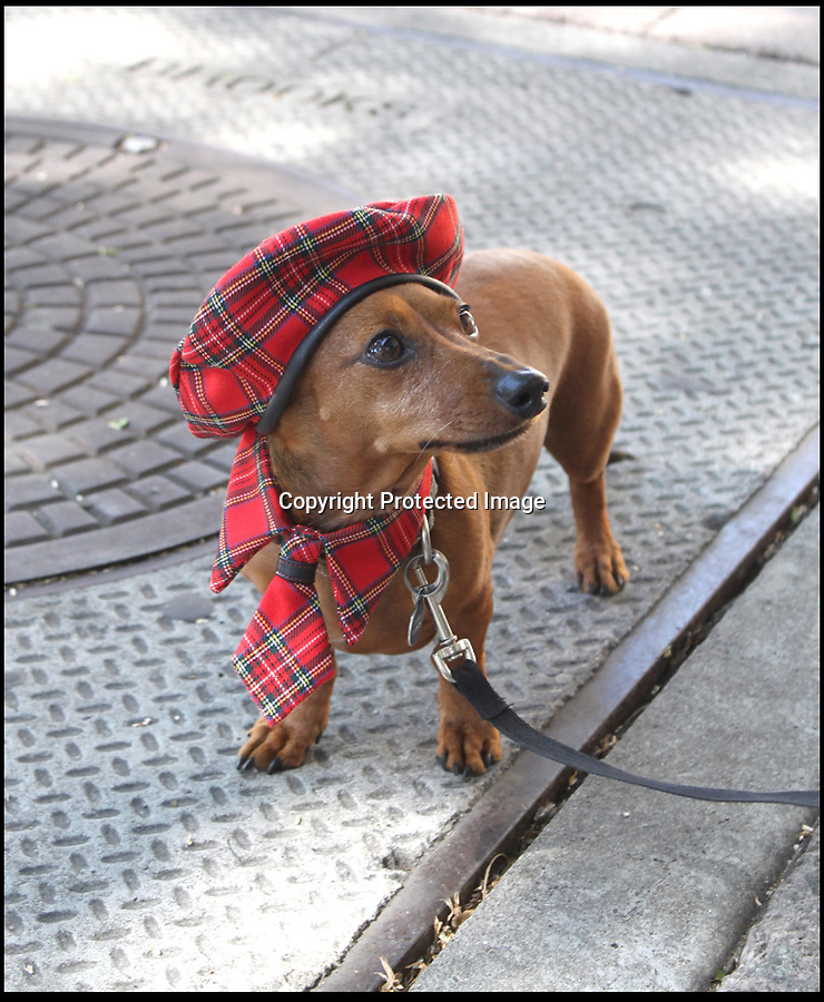 BNPS.co.uk (01202 558833)<br /> Pic: Cushzilla/BNPS<br /> <br /> ***Please use full byline***<br /> <br /> Tarten outfit.<br /> <br /> A barking-mad designer has launched a range of wigs that turn pets into pop princesses including Katy Perry, Lady Gaga, Britney Spears and even Dolly Parton.<br /> <br /> Dogs and cats can also be dressed up as dragons, pilots, wizards or Prince Charming thanks to Leah Workman's wacky creations.<br /> <br /> The 40-year-old from Los Angeles spotted the trend of dressing up pets while studying in Japan - and later teamed up with husband Hiroshi Hibino to launch company Cushzilla.<br /> <br /> The pair instantly set tails wagging around the internet with their bonkers brand of pet fashion, which also features Sharon Osbourne and Sid Vicious wigs and cow and tiger costumes.<br /> <br /> Leah imports the high quality handmade wigs while costumes come from famous Japanese pet clothing designer Takako Iwasa.<br /> <br /> She says the most popular wig is the Lady Gaga, while the pilot's outfit tops the popularity charts in the costume department.<br /> <br /> Her own cats Jitters and Justus model many of the products on the company's website.