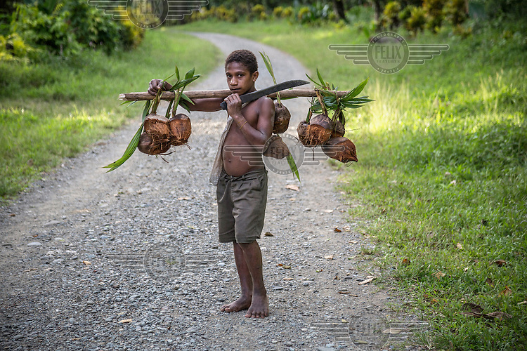 A boy transporting coconuts strung on a wooden yoke carried over his shoulder.