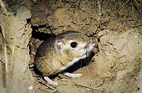 Ord's Kangaroo Rat (Dipodomys ordii), adult leaving burrow in desert, Starr County, Rio Grande Valley, Texas, USA, North America