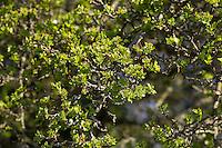 Eingriffliger Weißdorn, Blatt, Blätter im Frühjahr, Blattaustrieb, Weissdorn, Weiß-Dorn, Weiss-Dorn, Crataegus monogyna, English Hawthorn, May, Aubépine monogyne