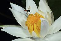 Meliponula roubiki (or M. nebulata) bee (Congo-Brazzaville)///Meliponula roubiki (or M. nebulata) (Congobrazzaville)