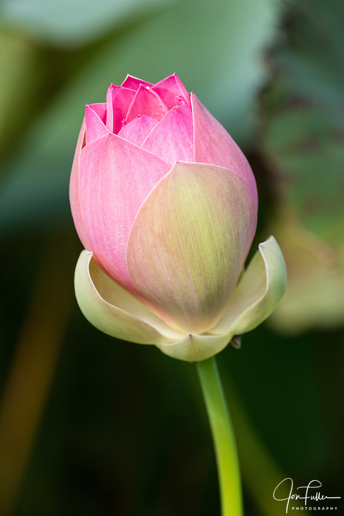 Lotus flower bud, Nelumbo nucifera, in the Georgetown Botanical Gardens, Georgetown, Guyana.  The lotus flower comes originally from India and is considered sacred to the Hindus and Buddhists.
