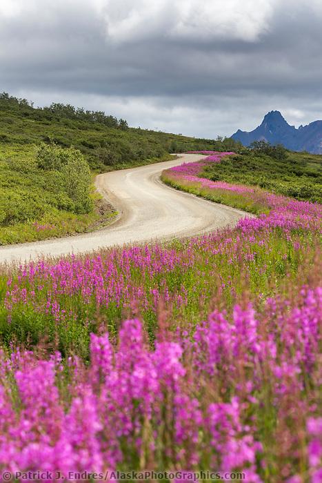Fireweed blossoms along the roadside of Sable Pass, Denali Park Road, Denali National Park, Alaska.