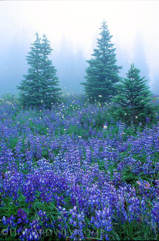 Blue Lupine meadow on a misty day, Mount Rainier, Washington