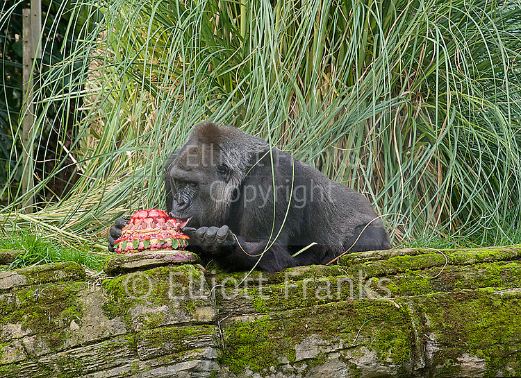 Zaire a 16.5 stone gorilla at London Zoo celebrates her 40th birthday by eating a cake especially made by The Great British Bake Off runner up Richard Burr.<br />