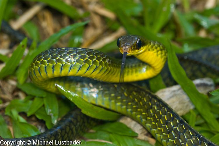 Giant Bird Snake (Pseustes sulphureus sulphureus)