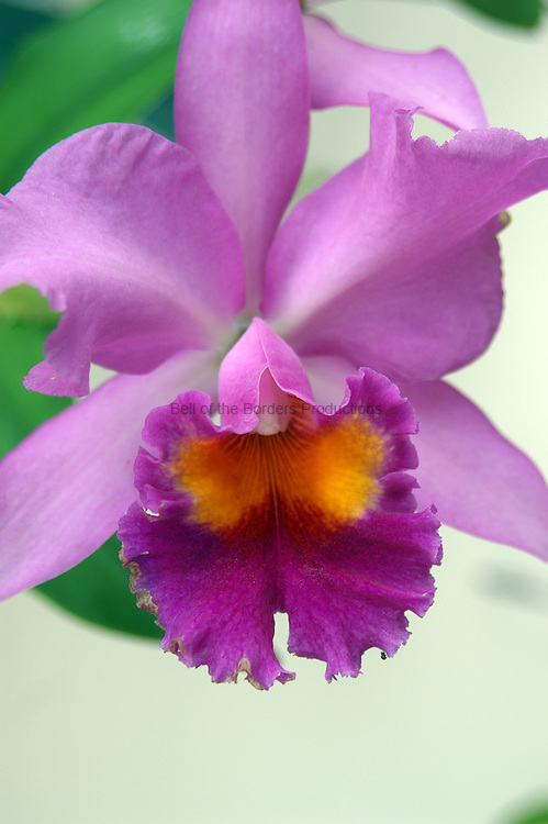The ruffled petal of the Catalaya orchid is a visual delight.