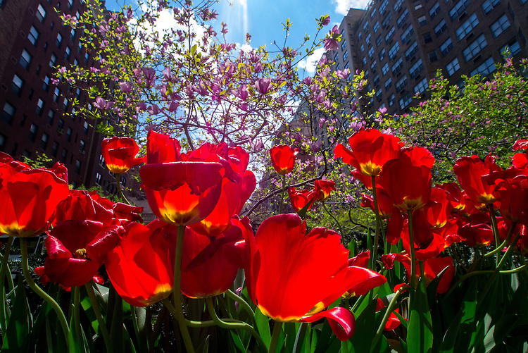 Tulips On Park Ave in New York City