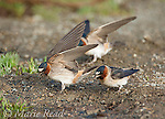 Cliff Swallows (Petrochelidon pyrrhonota) at a puddle to pick up mud for nest material, Mono Lake Basin, California, USA