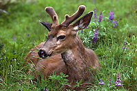Deer resting in meadow on Hurricane Ridge in Olympic National Park.