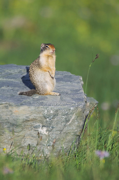 Columbian Ground Squirrel,Spermophilus columbianus, adult standing alert, Logan Pass, Glacier National Park, Montana, USA, July 2007