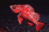 Vermillion rockfish.(Sebastes miniatus)