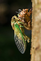 A cicada pumps its wings full of blood after emerging from the ground and shedding its pupal stage skin.