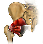 Muscles Laxity; depicts the posterior muscle of the hip joint: Pirformis, gluteus minimus, superior gemellus, obudurator, quadratus femoris, inferior gemellus These muscles have been divided in earlier hip replacement and are lax