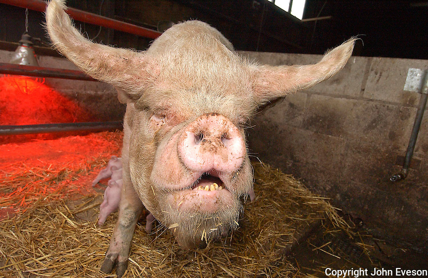 Middle White sow.