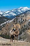 Bighorn sheep rams in rut. Park County, Montana.