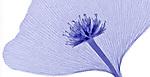X-ray of a Dogwood flower and a Ginkgo leaf