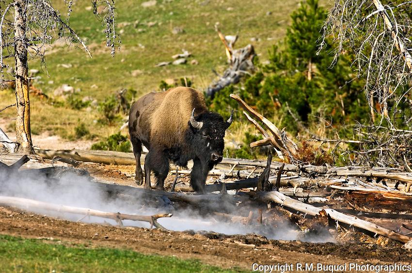 Buffalo near steam vent, Yellowstone National Park