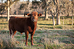 Brazoria County, Damon, Texas; a young, Red Angus bull with spiked hair stares into the camera while standing in the pasture in late afternoon sunlight