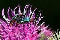 Blaubock, Paarung, Kopulation, Kopula, Blaubock-Käfer, Blaubockkäfer, Bockkäfer, Gaurotes virginea, Carilia virginea, Longhorn beetle, pairing