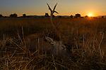 Old stag Red Deer dead after fighting during rut season (Cervus elaphus), Castilla La Mancha, Spain