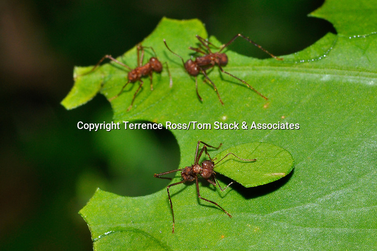 Leaf cutter ants, Genus: Atta. Leaf cutter ants are dilligently work to acquire leaf pieces which are transported back to their mounds. The material collected is used to cultivate fungus which is used as a food source for the colony. Costa Rica.